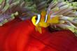 Juvenile anemonefish.