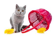 British Blue Kitten With Pink ...