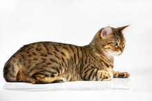 Relaxed Bengalcat Laying On Re...