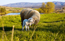Sheep Care Newborn Lamb