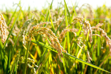Cereal Rice Fields With Ripe S...