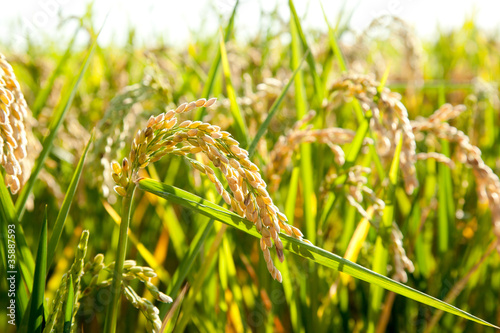 Fotografie, Obraz  Cereal rice fields with ripe spikes