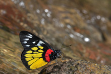 Red-base Jezebel Butterfly