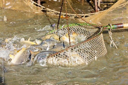 Printed kitchen splashbacks Crocodile harvesting pond