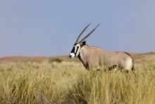 Oryx In Wolwedans