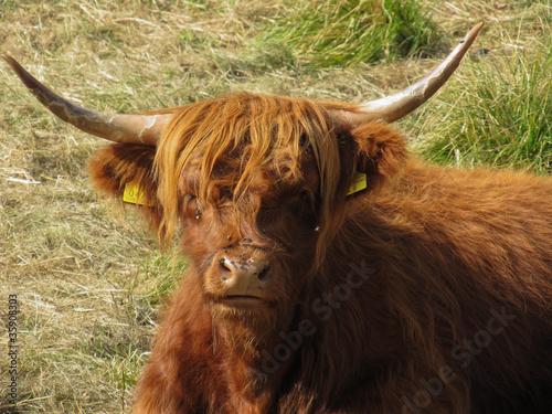 Spoed Fotobehang Schotse Hooglander yak solitario