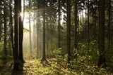 Coniferous forest backlit by the rising sun on a foggy day - 35913187