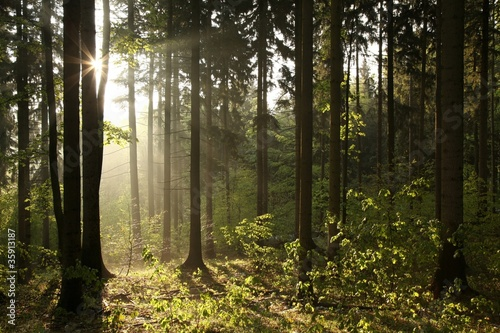 Foto auf Acrylglas Wald im Nebel Coniferous forest backlit by the rising sun on a foggy day