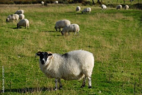 Poster Sheep Irlanda
