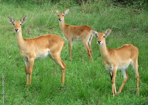 Wall Murals Antelope Uganda Kobs in grassy vegetation