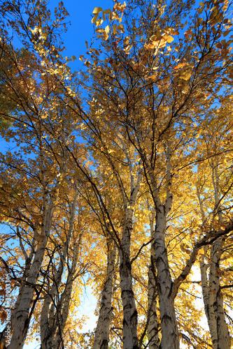 Dekoracja na wymiar swiatlo-sloneczne-za-brzozy-jesienia