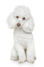 White Toy Poodle On White Back...