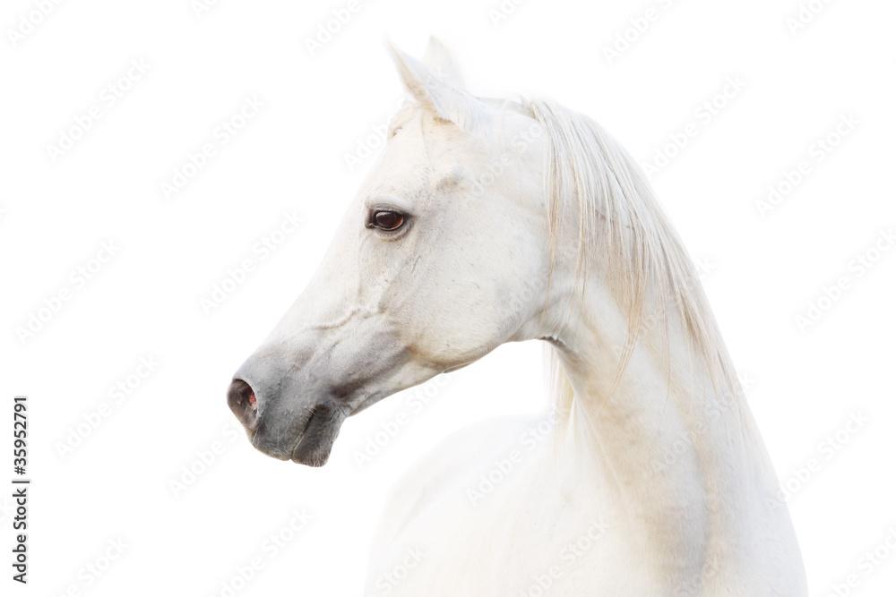 Fototapety, obrazy: arabian white horse