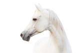 arabian white horse - 35952791