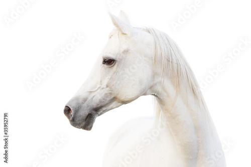 arabian white horse