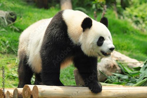 Stickers pour portes Panda panda