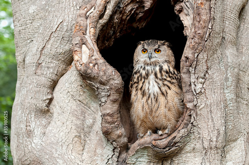 Poster Uil Owl in a tree hollow