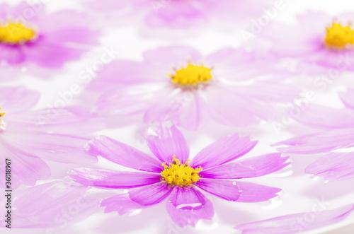 Fotografie, Obraz  コスモスの花