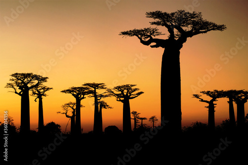 Papiers peints Baobab Sunset and baobabs trees