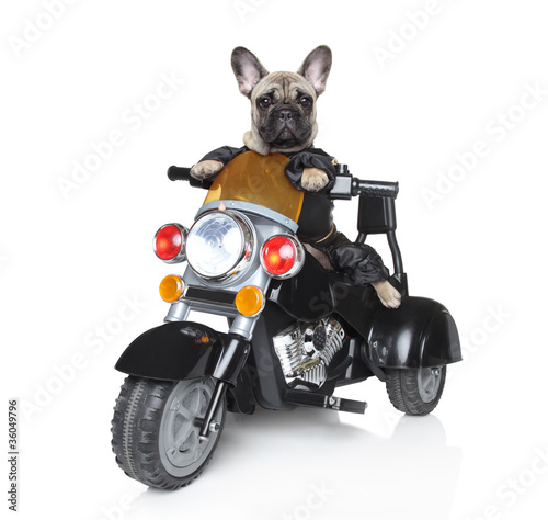Poster Motocyclette Dog riding on a motorcycle