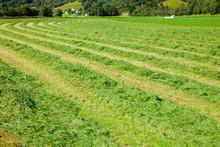 Fresh Cut Hay In A Field