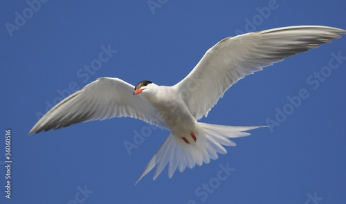 Common Tern (Sterna Hirundo)  in flight.