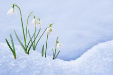 Group Of Snowdrop Flowers  Gro...