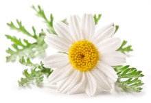 Macro Shot Of Wild Camomile Ov...