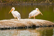 Two Pelicans On Raft