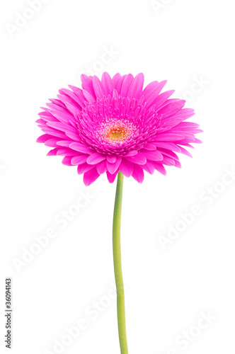 Aluminium Prints Gerbera beautiful pink gerbera daisy flower isolated on white background