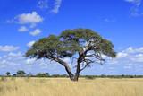 Fototapeta Sawanna - African Acacia tree, Zimbabwe