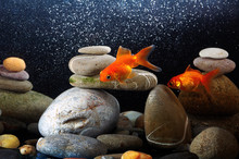 Couple Goldfish  Over Well-arr...