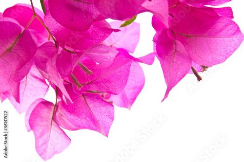 Fotografia Pink flower isolate on white