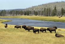 Bison D'Amérique; Parc National Yellowstone; Etas Unis