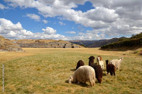 Photo sur Toile Amérique du Sud Group of Lamas with Sacsayhuaman ruins