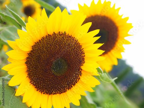 In de dag Zonnebloem Sunflower Close-up