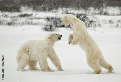 Deurstickers Ijsbeer Fighting polar bears.