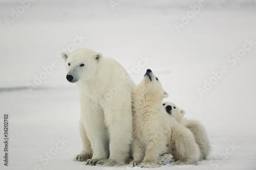 Deurstickers Ijsbeer Polar she-bear with cubs.