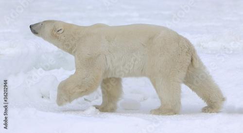 In de dag Ijsbeer Polar bear walk.