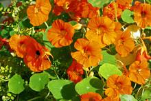 Orange Nastirtium Blooming In The Garden