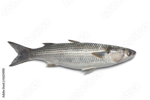 Recess Fitting Fish Whole fresh grey mullet