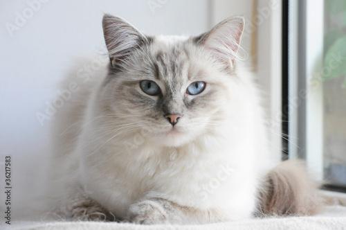 Naklejka premium ragdoll cat