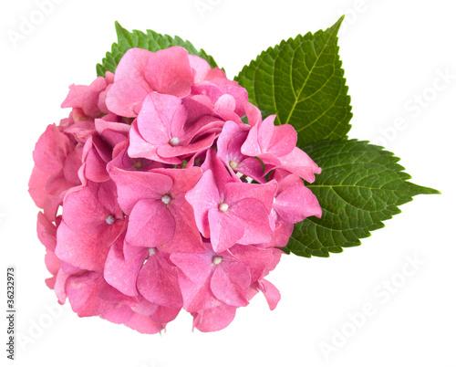 Spoed Foto op Canvas Hydrangea Pink hydrangea