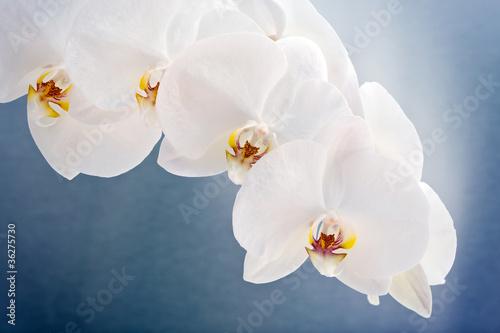biale-klejnoty-phalaenopsis