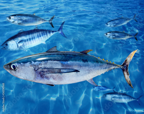 Printed kitchen splashbacks Fishing Albacore Thunnus alalunga fish and bluefin tuna