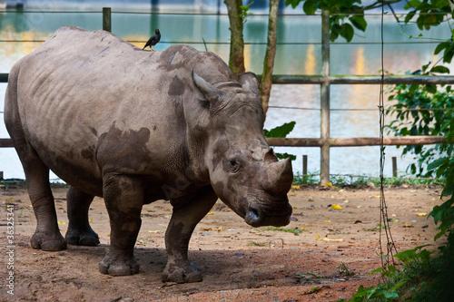 Fotografia, Obraz  rhino