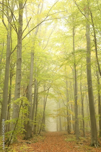 Foto auf Acrylglas Wald im Nebel Forest trail surrounded by beech trees in a misty autumn morning