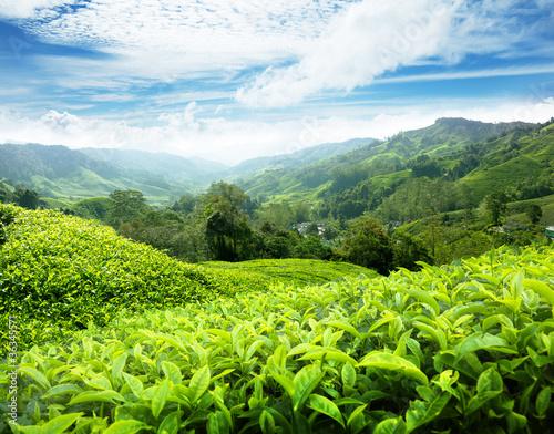 Obraz na płótnie Tea plantation Cameron highlands, Malaysia