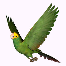 Double Yellow Amazon Parrot