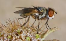Fly Tachinidae